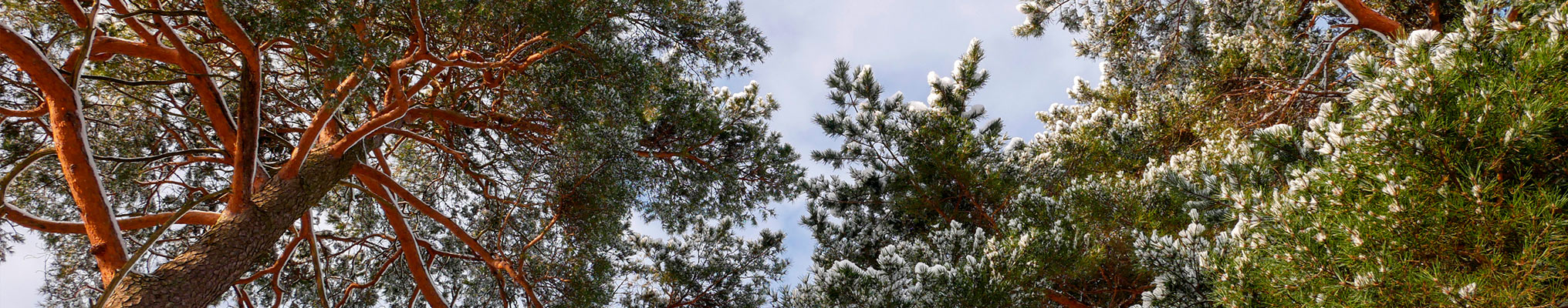 Pine branches and leaves